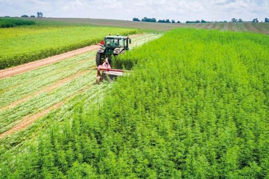 Hemp field being harvested