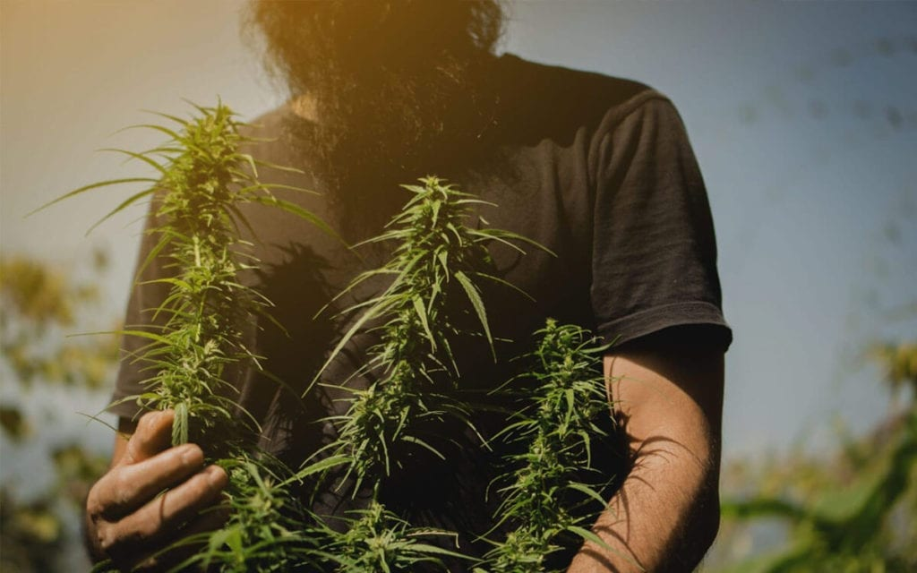 man holding hemp flowers
